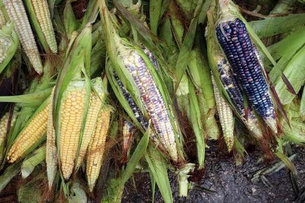 En el primer trimestre del año mientras la economía decreció 0.2 por ciento, el sector agroindustrial creció 5.6 por ciento. Foto: Archivo | Cuartoscuro
