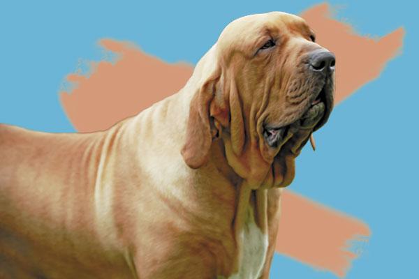 Este tipo de perro vive de 9 a 10 años en promedio. Ilustración: El Heraldo de México