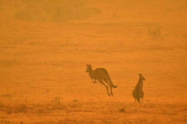 Canguros-incendios-Australia-CambioClimatico-Extinción-Especies
