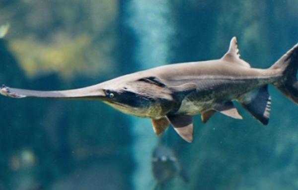 pez-espatula-especie-desaparecida-2020