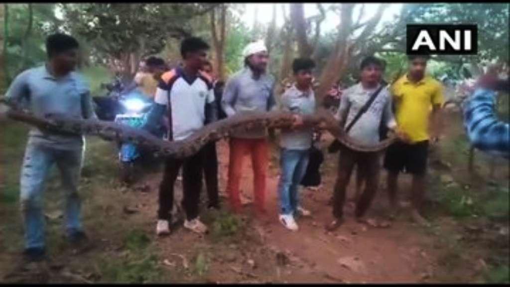pitones-enormes-tuberia-rescate-video-india