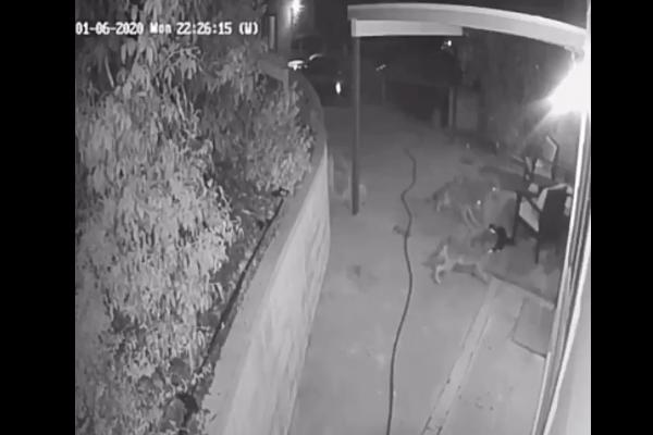 Gato coyotes video viral