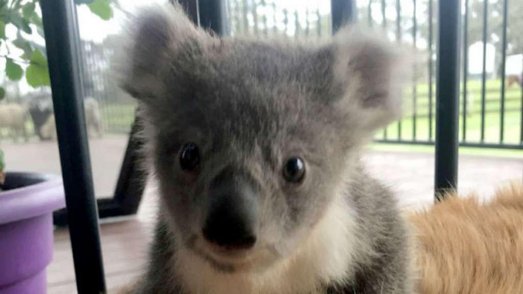 koala perro cariño