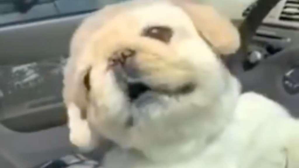 Perrito se vuelve viral al tratar de defender el auto de su humano: VIDEO