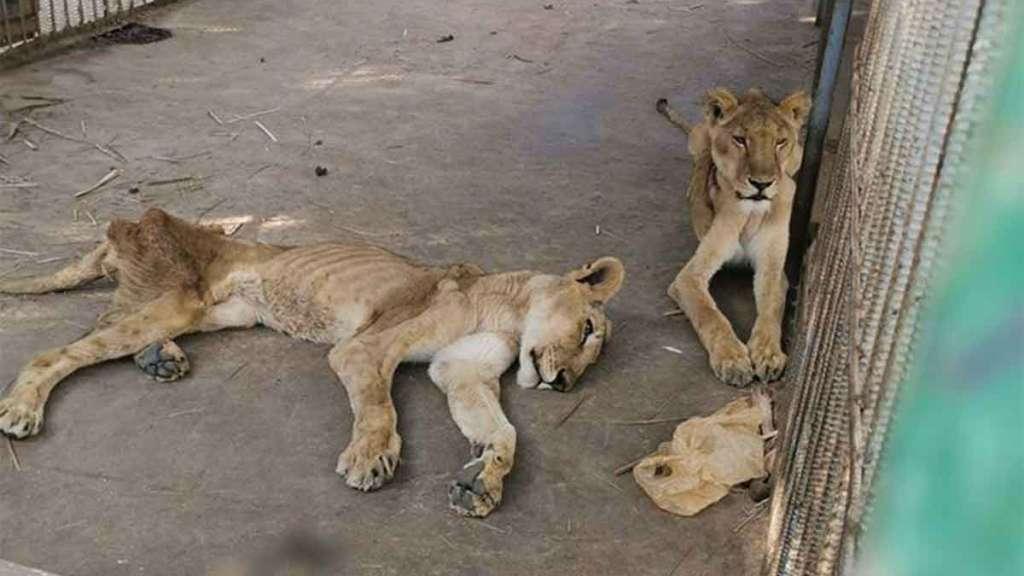 leones flacos consternaron a los internautas.