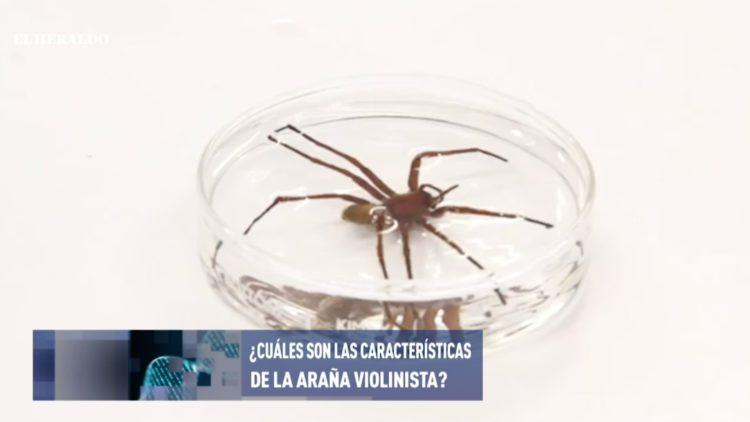 Araña-violinista